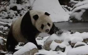 大熊猫也要冬眠?